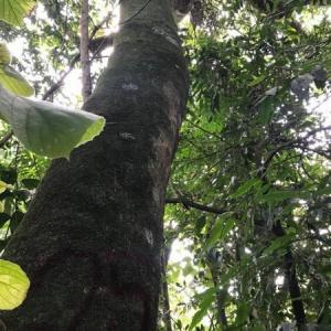 Autorização para corte de árvores isoladas